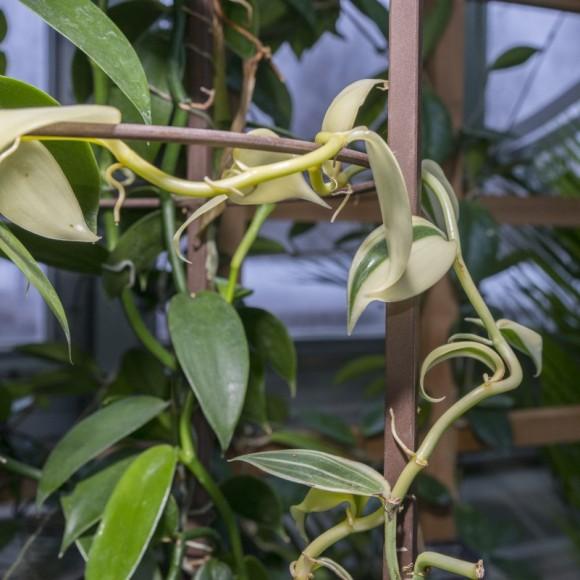 PHOTO: Vanilla orchid (Vanilla planifolia).