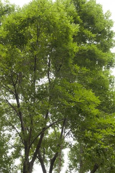 PHOTO: Tree canopy.