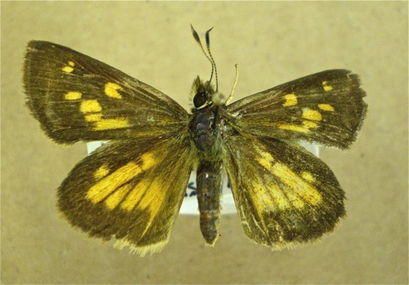 PHOTO: Broad-winged skipper (Poanes viator).