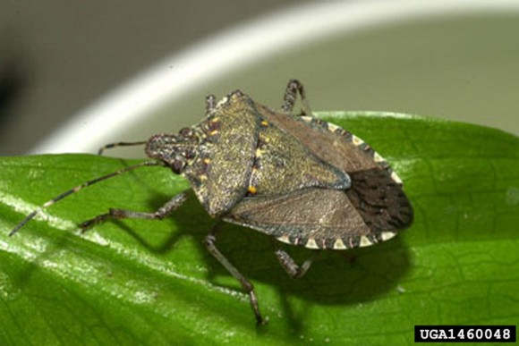 PHOTO: Brown marmorated stink bug.