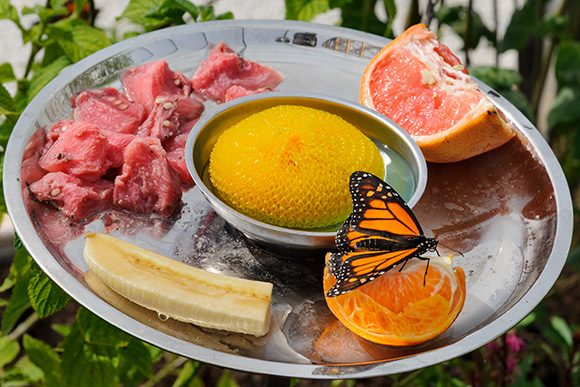 PHOTO: monarch butterfly on fruit tray.