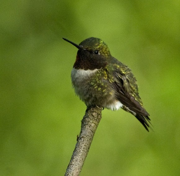 PHOTO: Hummingbird on a branch.
