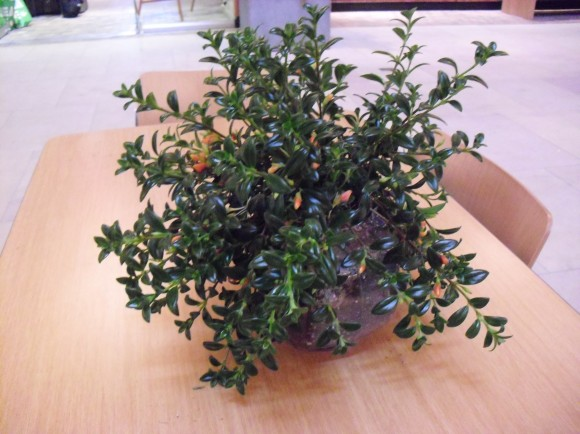 PHOTO: Goldfish plant growing in a fish bowl.