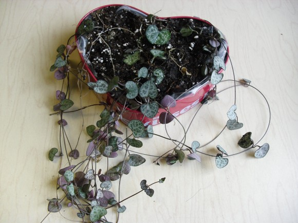 PHOTO: Chain of Hearts plant grows in a Valentine's Day chocolate tin.