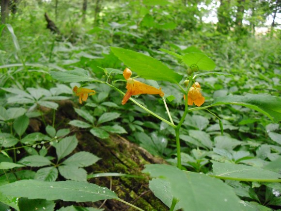 PHOTO: Spotted jewelweed blooms and developing seed pod.