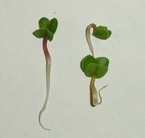 Eleven Experiments with Radish Seeds