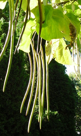 Long seedpods hang between heart-shaped leaves