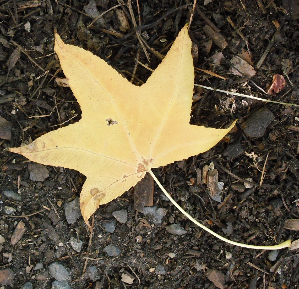 close up of a yellow, star-shaped leaf