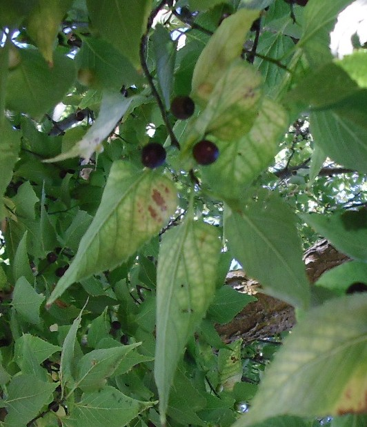 PHOTO: This shows the end of a branch with green pointed leaves and black berries.