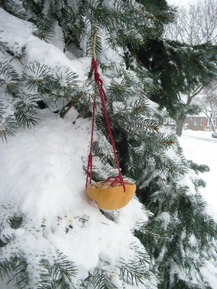 Grapefruit birdfeeder hung from a snow-covered fir.