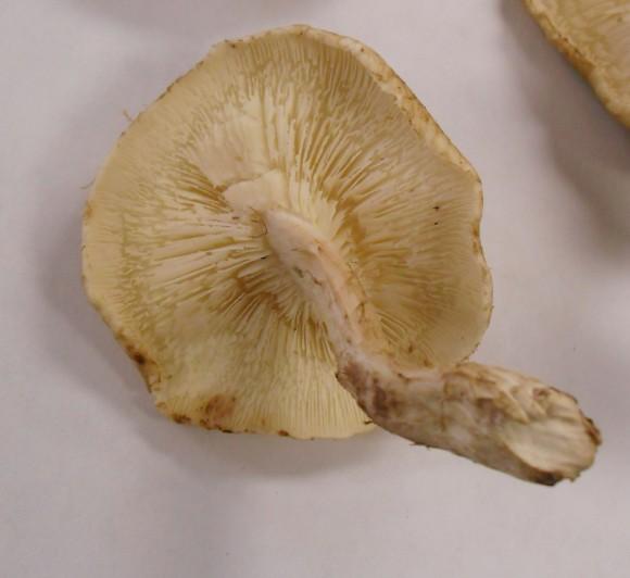 PHOTO: Shiitake mushroom.