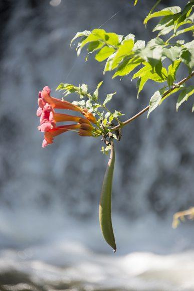 PHOTO: Campsis radicans