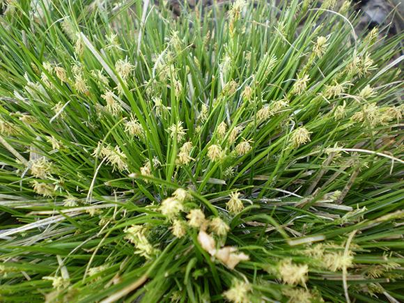 Parasol sedge (Carex umbellata)