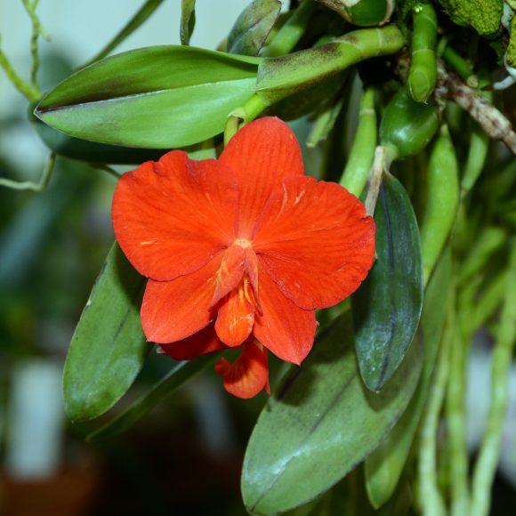 PHOTO: Cattleya coccinea