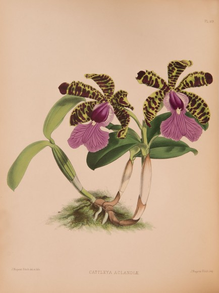 ILLUSTRATION: Cattleya aclandiae.