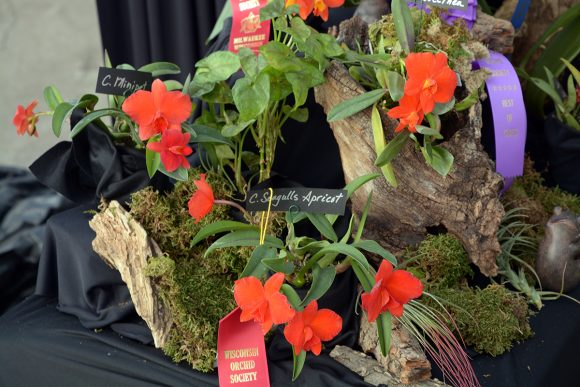 PHOTO: Cattleya coccinea and hybrids from the Wisconsin Orchid Society Show on February 26, 2017.