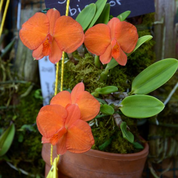PHOTO: Cattleya-dichroma-(formerly-Sophronitis-bicolor)