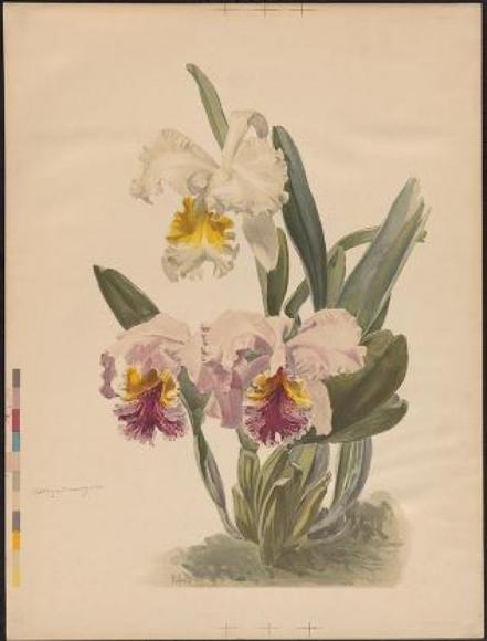 ILLUSTRATION: Cattleya mossiae and Cattleya mossiae var. Wagnerii