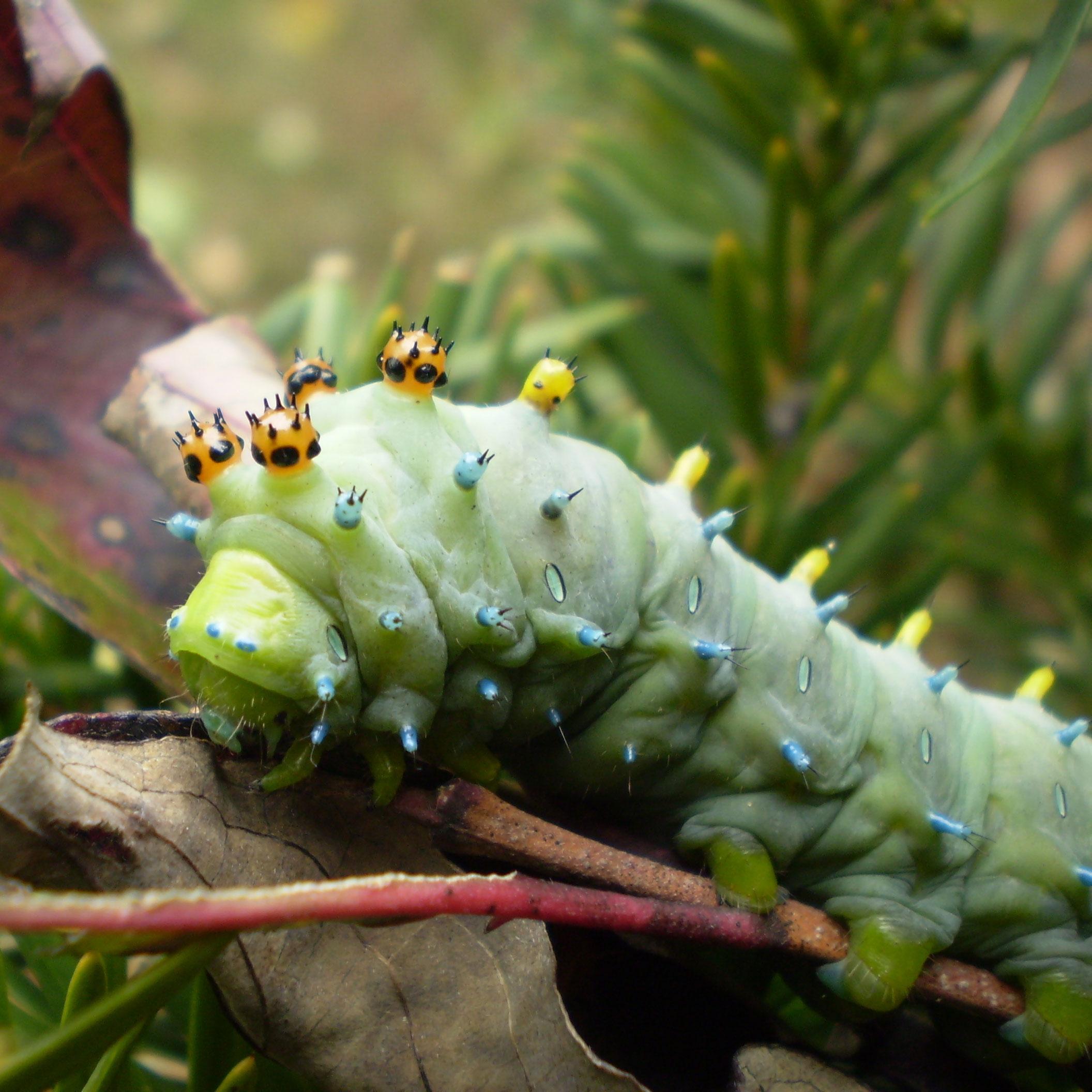 PHOTO: Cecropia moth caterpillar.