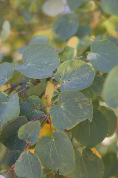 PHOTO: In early fall, the gold outline of katsura tree leaves is particularly visible as they begin to change color.