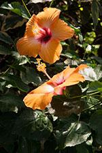 China rose (Hibiscus 'Mrs. Jimmy Spangler')