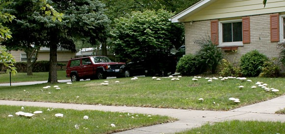 PHOTO: Suburban lawn covered with mushrooms.