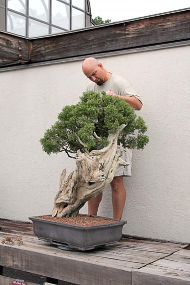 Chris Baker pruning bonsai.