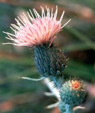 PHOTO: Pitcher's thistle (Cirsium pitcheri)