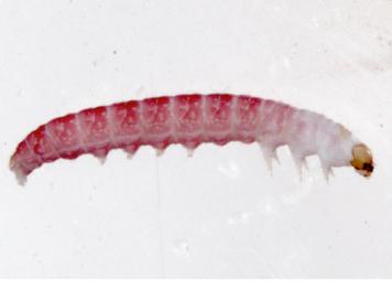 PHOTO: Closeup of Mompha species caterpillar.