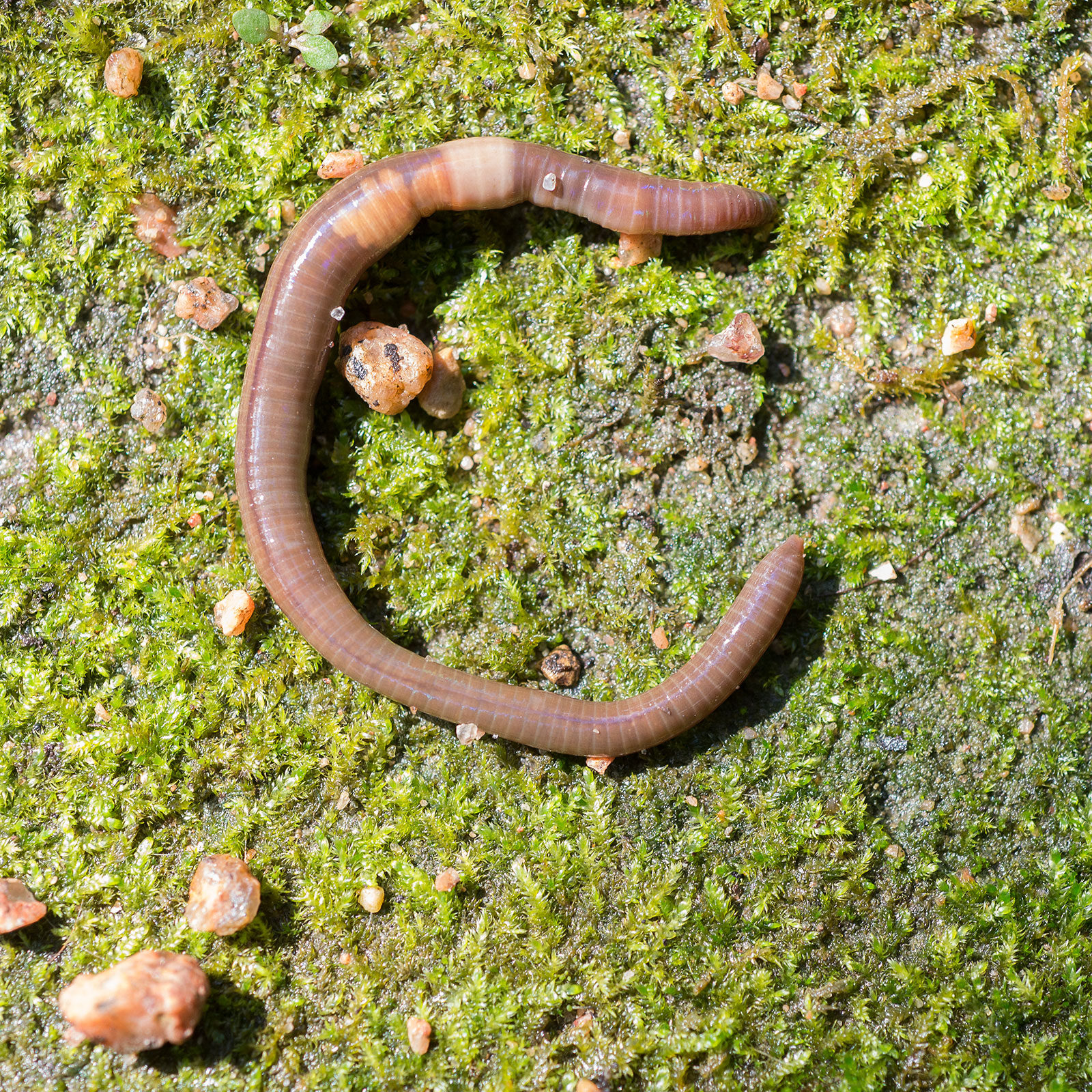 PHOTO: Crazy Worm (Amynthas agrestis).