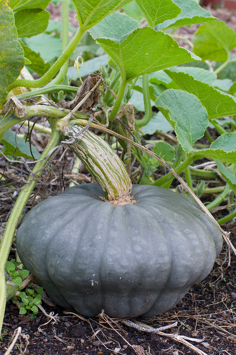 squash cucurbita maxima pancake Gourd seed grow your own fall (cucurbit) family, which includes many types of squash and pumpkins the bright , and belong to the cucurbita maxima species.