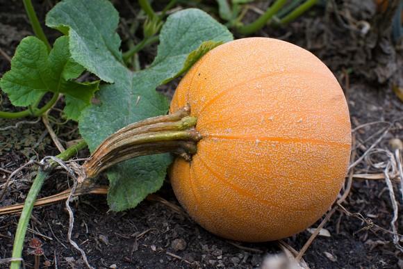 PHOTO: Winter Luxury pumpkin.