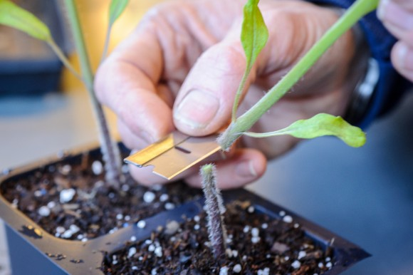 PHOTO: Slicing the top off the rootstock tomato seedling.
