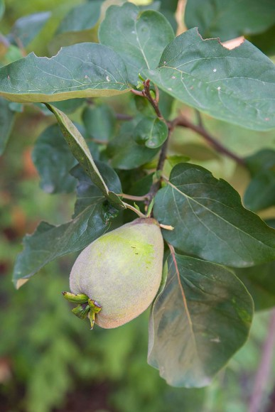 PHOTO: Quince