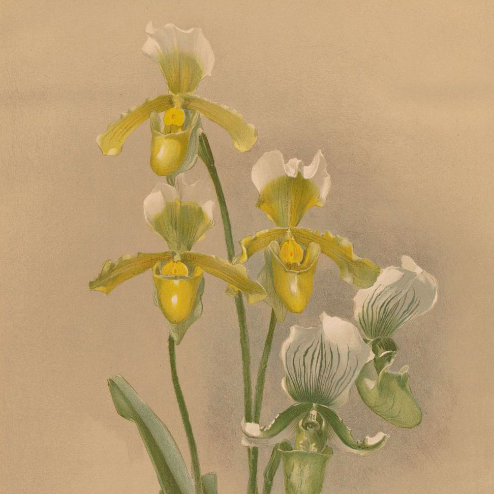 Orchidpalooza: Rare orchids in print in the Lenhardt Library