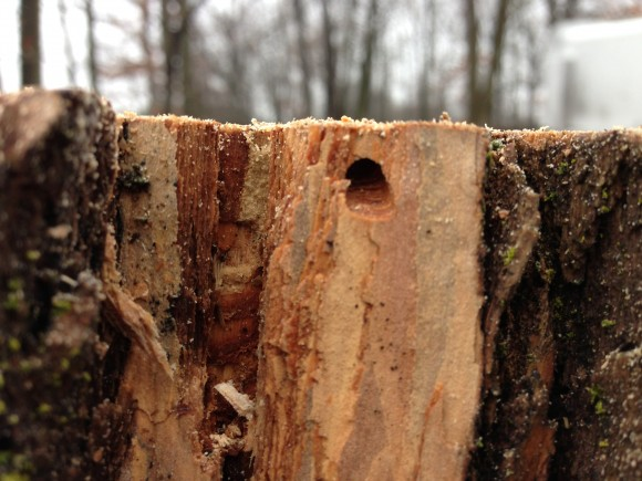 A D-shaped exit hole left by EAB.
