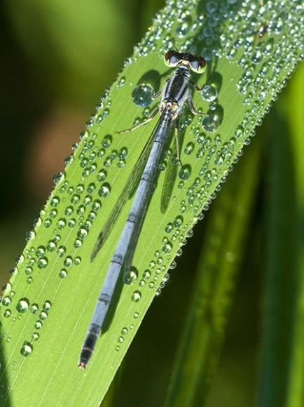 PHOTO: Female Eastern Forktail damselfly.