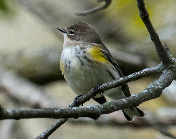Warbler Spotted in McDonald Woods