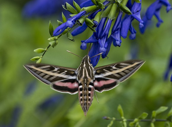 What a treat to see so many of these buzzing around the garden today.  ©Carol Freeman