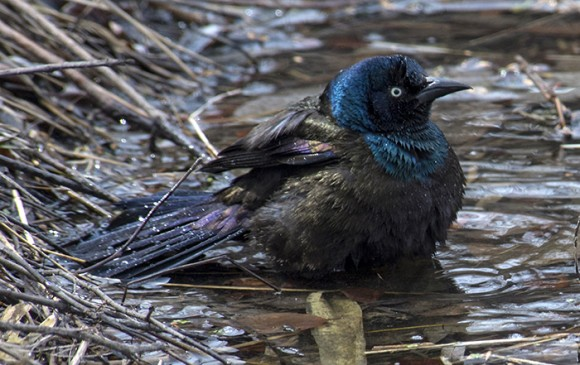The iridescent feathers of a common grackle bathing in a puddle.