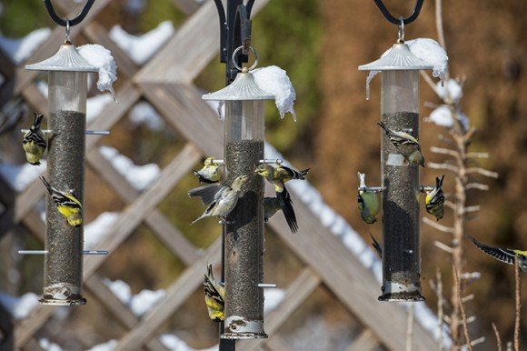 Goldfinches cover a set of 3 feeders at the Garden.