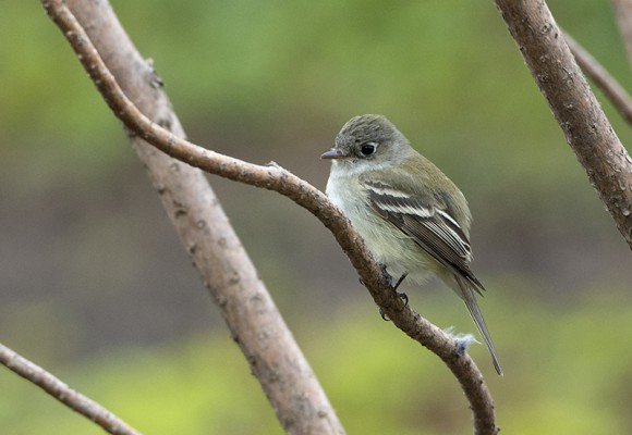 Least flycatcher.