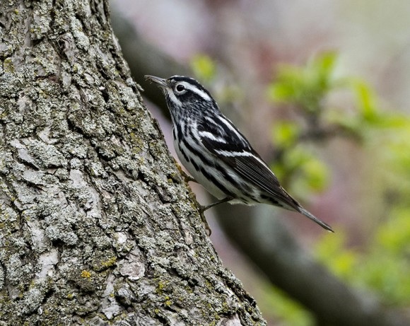 Black-and-white warbler.