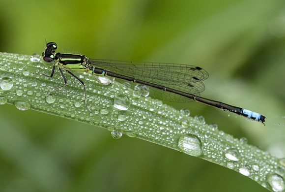 PHOTO: Male Eastern Forktail damselfly.