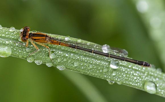PHOTO: Immature female Eastern Forktail damselfly.