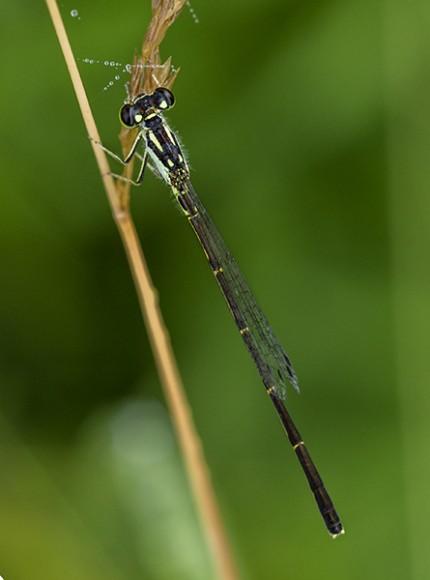PHOTO: Male Fragile Forktail damselfly.
