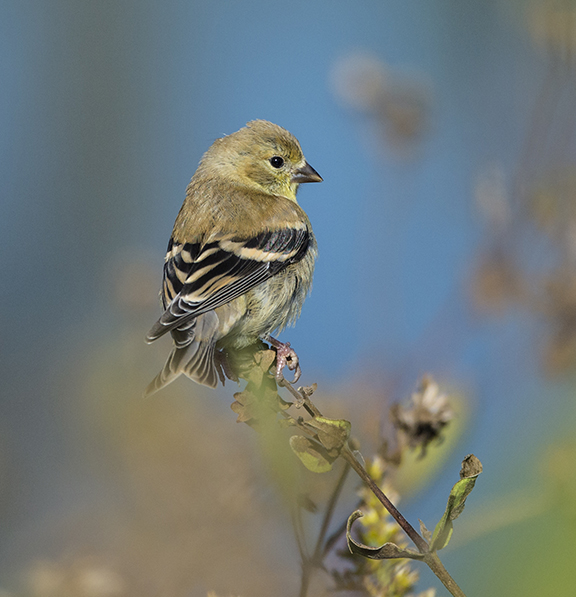 PHOTO: Goldfinch.