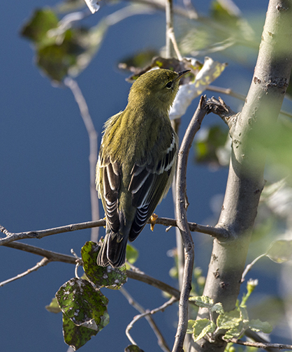 Blackpoll warbler.