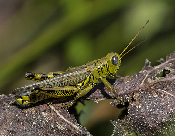 Grasshoppers dance from plant to plant. ©Carol Freeman