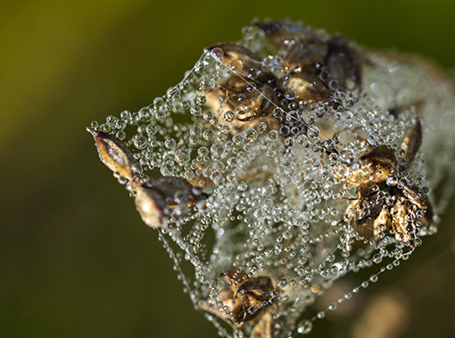 Seed heads magically transformed with early morning dew. ©Carol Freeman